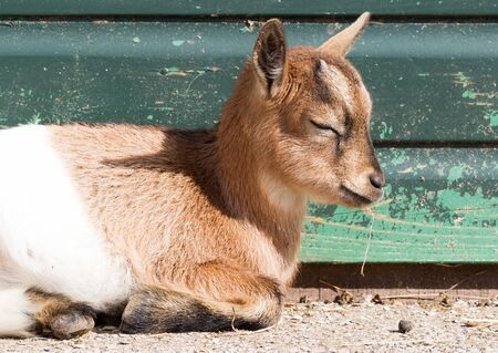 Goat sleeping, small and cute, green wooden background Фото со стока