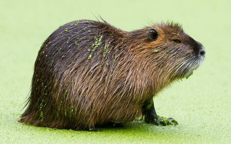 Beaver in pool filled with duckweed