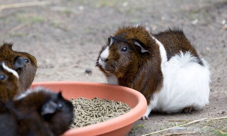 Brown and white Guinea pig eating, selective focus