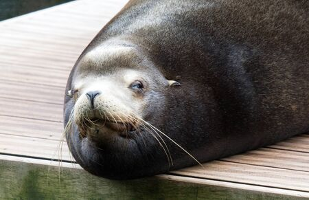 Portrait of a California sealion relaxing, selective focus
