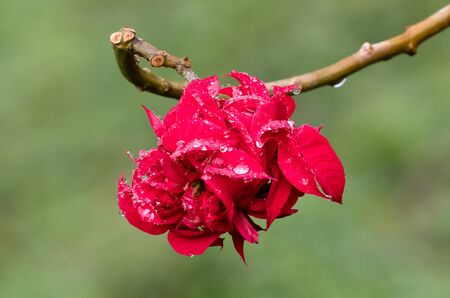Wet red flower with a green background