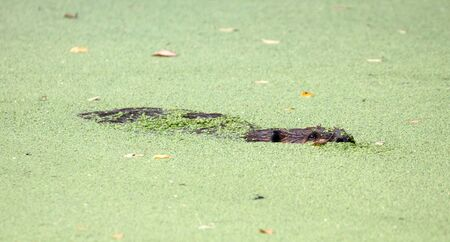 Beaver in the middle of a pool filled with duckweed