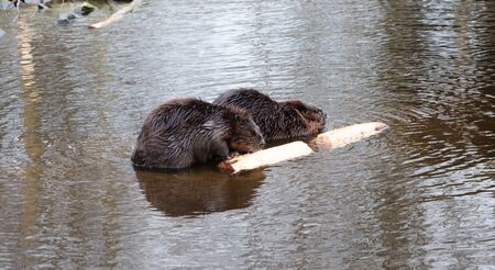 Portrait of a big beavers chewing on wood