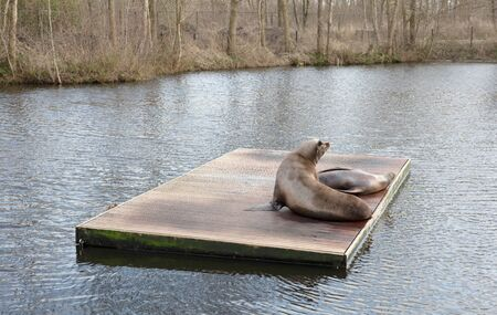 Californian sea lions resting in the middle of a lake