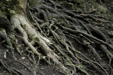 branching: roots growing on surface in dark forest Stock Photo