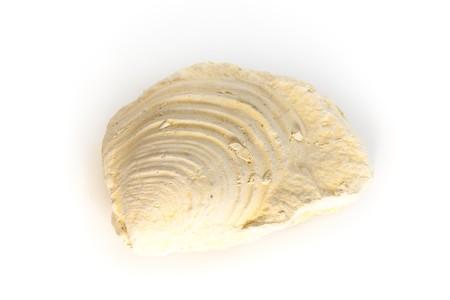 mollusc: mollusc inoceramus fossil detail from Cretaceous Stock Photo