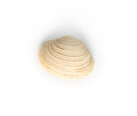 mollusc: mollusc - chione, macro shot of paleogene fossil