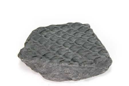 carboniferous: fossil of carboniferous lepidodendron detailed macro shot Stock Photo