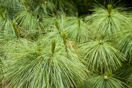 close up photo of pine needle leaves in green colors photo