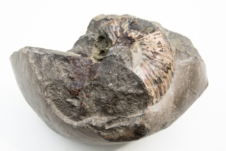 macro photo of fossil of ammonite isolated over white