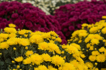growing inside: hundreds of colorful Chrysanthemums growing inside of greenhouse