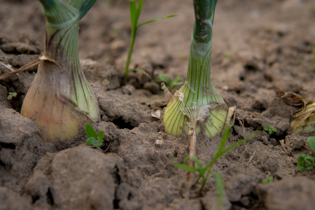 detail of small onion growing in the field Stok Fotoğraf - 88064476