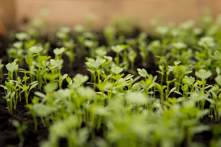 close up of small green seedlings growing inside of a greenhouse