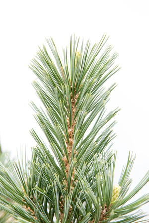 detail of pine tree green needles isolated over white background