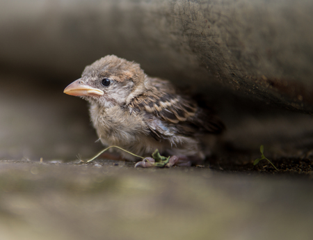 small sparrow fledge sitting alone on the ground out of his nest