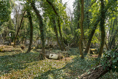 old jewish cemetery with matzevah covered with ivy plant