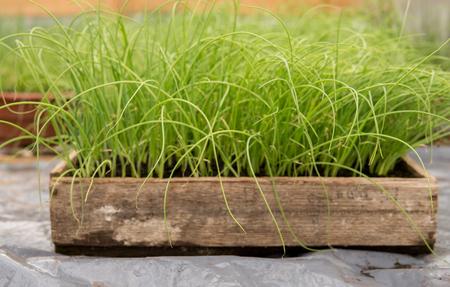 Détail de petits plants de poireaux verts poussant à l'intérieur d'une serre