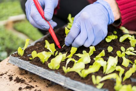 Details of hands of a farmer planting young seedlings of lettuce salad inside of a greenhouse during early spring