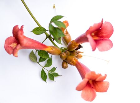 flower of trumpet vine isolated over white background Фото со стока