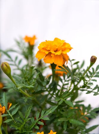 close up of orange flowers growing in a garden during summer and fall isolated over white background