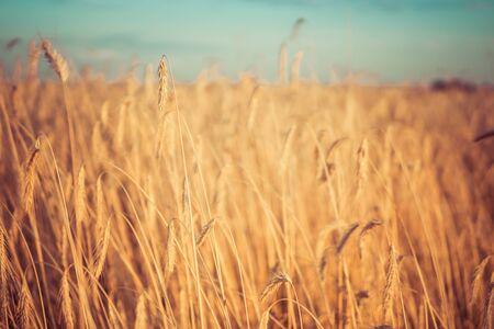 Détail de l'usine de céréales de seigle poussant dans le domaine