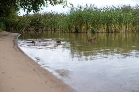 ducks on a shallow water next to a shore of a lake
