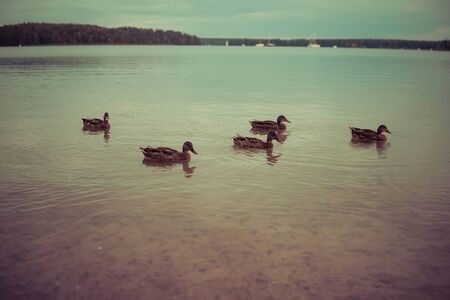ducks are swimming on a shallow water of a lake
