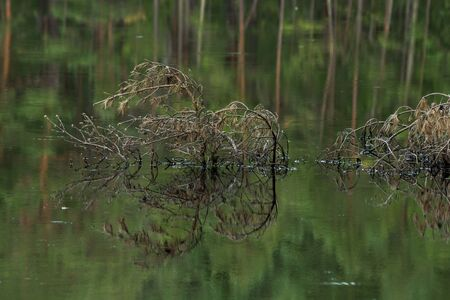 close up of pine branches protruding above water of a lake