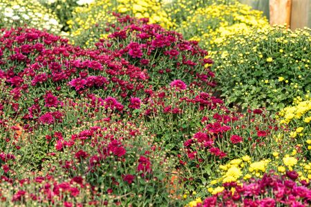 a lot of colorful chrysanthemum flowers inside of a greenhouse