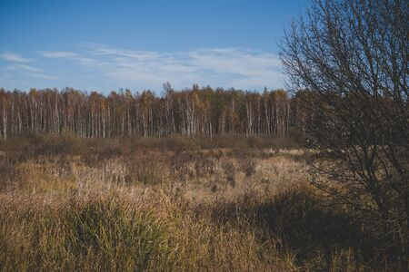 autumn natural landscape with swamps covered in phragmites and forest with birch tree in Polesie region in Poland