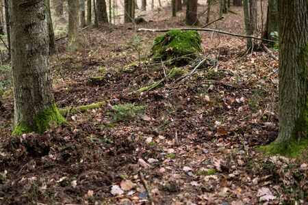 effects of burrowing in the ground inside of a forest by wild boar in Rosochacz nature reserve in Poland
