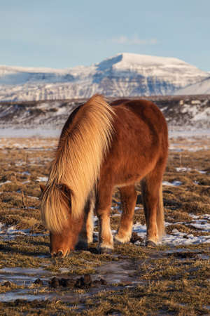 Icelandic Ponies in the pasture with mountains