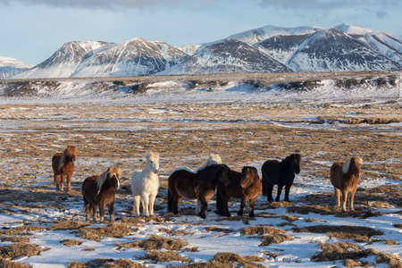 A group of Icelandic Ponies in the pasture with mountains Stock fotó