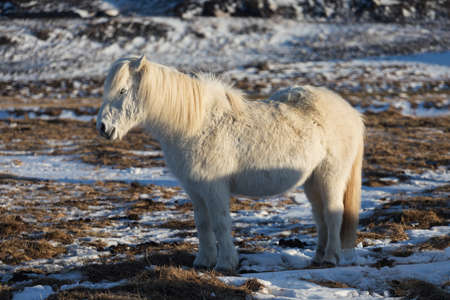 An Icelandic Ponies in the pasture with mountains Stock fotó