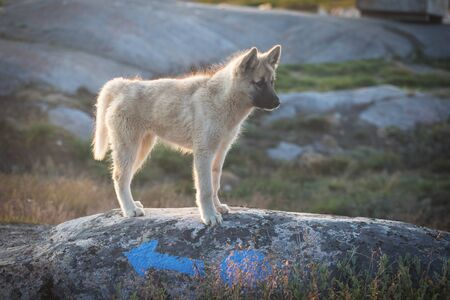Beautiful Greenland sled dog lighted with warm summer sun. Ilulissat, Greenland. Greenland Dog puppy These breeds are quite different from the huskies.