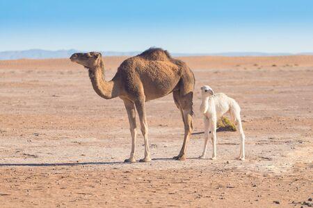 Mère et bébé chameau dans le désert du Sahara, belle faune près de l'oasis. Chameaux marchant au Maroc. Piétineuse brune avec ourson blanc. Chameaux à une bosse. Journée ensoleillée pittoresque avec ciel bleu