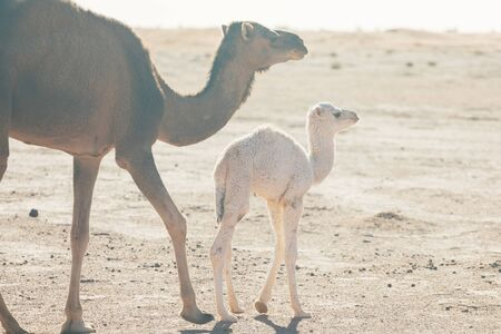 Mother and baby camel in Sahara desert, beautiful wildlife near oasis. Camels walking in Morocco. Brown female trampler with white cub. One-humped camels. Picturesque sunny day with blue sky