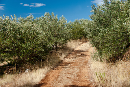 Olive Trees in countryside of Igrane, Dalmatia, Croatia photo