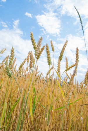 farm field: Photo of yellow wheat growing in a farm field Stock Photo