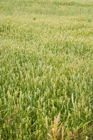 farm field: Photo of green wheat growing in a farm field