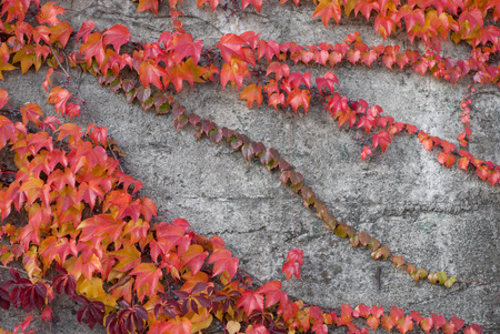 creeping fig: Photo of red ivy on the conctete wall