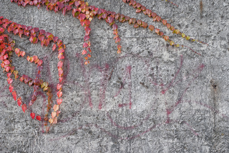 Photo of red ivy on the conctete wall