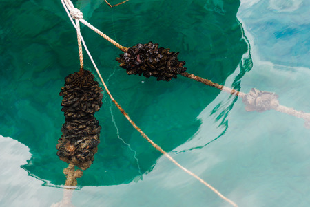 Photo of Blue mussles on the mooring line in the sea Stock Photo