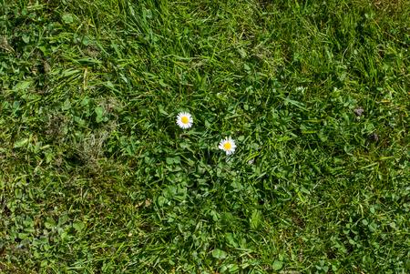 photo of daisy on grass - lawn top view Zdjęcie Seryjne