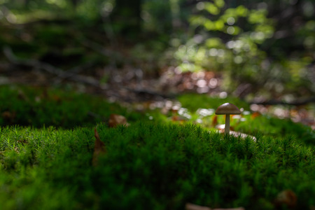 Photo of Small mushroom in the forest on green moss. Zdjęcie Seryjne - 114068515