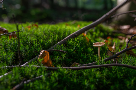 Photo of Small mushroom in the forest on green moss. Zdjęcie Seryjne - 114068522