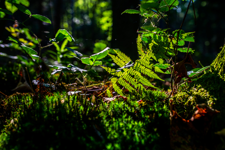photo of sun rays shining through the fern leaves in the forest Zdjęcie Seryjne - 114068539