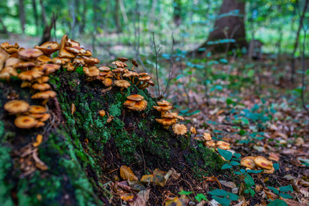 Photo of Autumn forest. Group of orange and yellow mushrooms on the old log