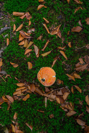 Photo of Small mushroom in the forest on green moss. Top view. Zdjęcie Seryjne - 114068544