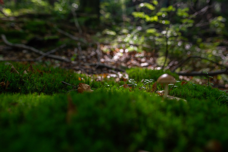 Photo of Small mushroom in the forest on green moss. Zdjęcie Seryjne - 114068550